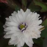 Anemone nemorosa 'Blue Eye'