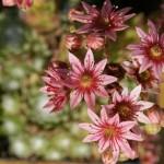 Die Schönheit der Hauswurzblüte offenbart sich erst aus der Nähe!