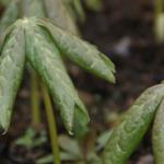 Nordamerikanischer Maiapfel -   Podophyllum peltatum