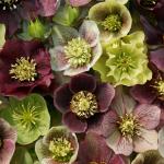 Helleborus-Blüten