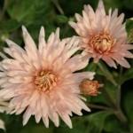 'Chamois Rose'