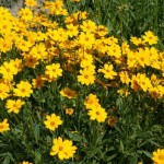Coreopsis 'Christchurch'