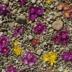 Sterndolden im Lehmboden