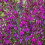 Lobelia 'Hadspen Purple'