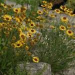 Gaillardia aristata im Steingarten
