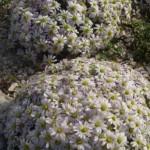 Die Schmuckblume  (Callianthemum anemonoides)
