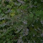Plectranthus excisus