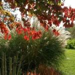 Unser Schaugarten im Herbst mit Blutgras, Chinaschilf und Acer rubrum 'October Glory'