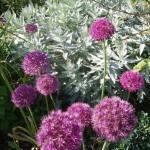Allium 'Purple Sensation' und Artemisia 'Valerie Finnis'