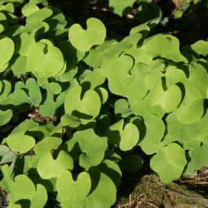 Plagiorhema - (Berberidaceae)