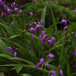 Bletilla - Bambusorchidee