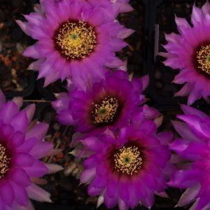 Echinocereus - Kugelkaktus