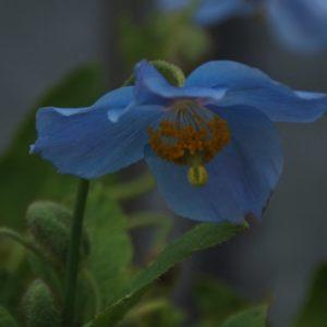 Meconopsis - Scheinmohn, Tibetmohn, Himalaya-Mohn, Blauer Mohn