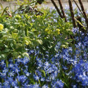 Scilla - Blausternchen, Blauglöckchen