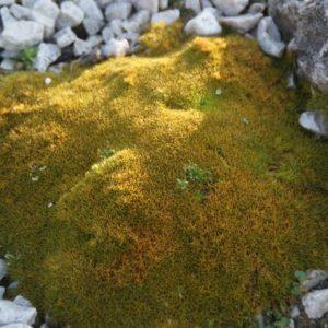 Scleranthus - Knäuelkraut