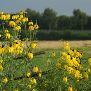 Ratibida - Präriezapfenblume