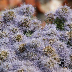 Trachelium - Campanulaceae