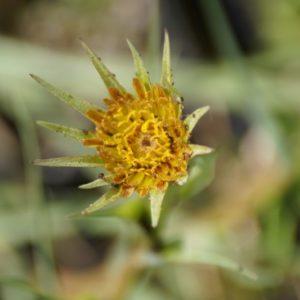 Tragopogon - Bocksbart